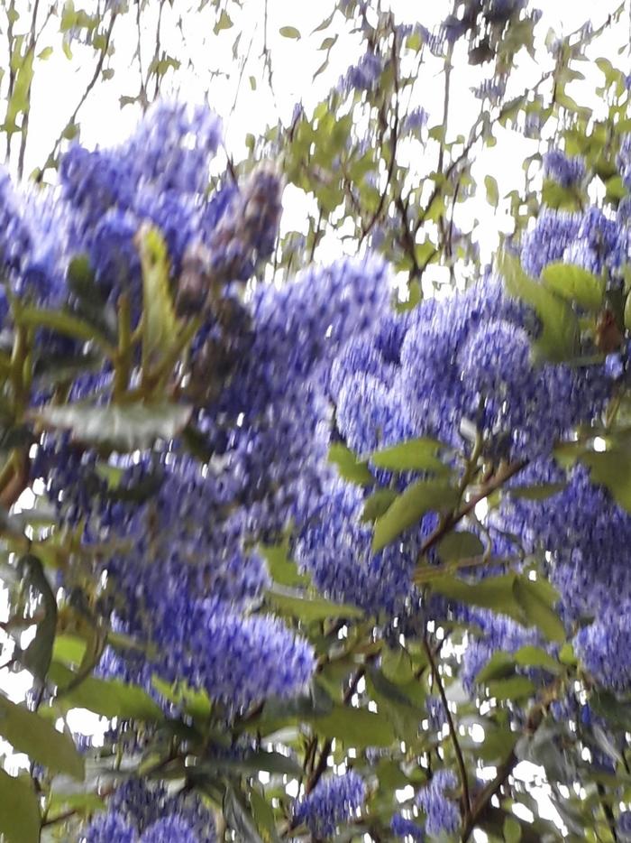 le bleu au jardin
