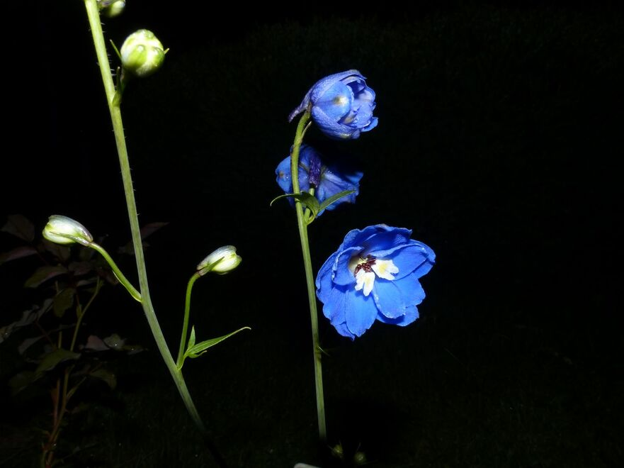 Mes Delphiniums blue bird