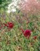 Plante vivace 002