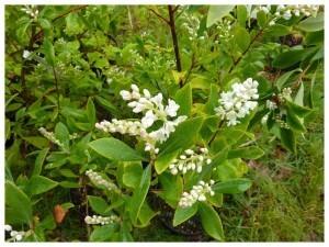 Botaniques de Chèvreloup avril2010002