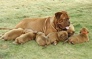 64484928 2-French-Mastiff-DOGUE-DE-BORDEAUX-Puppies-4-Sale-