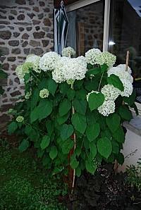 Hydrangea arborescens Anabelle005
