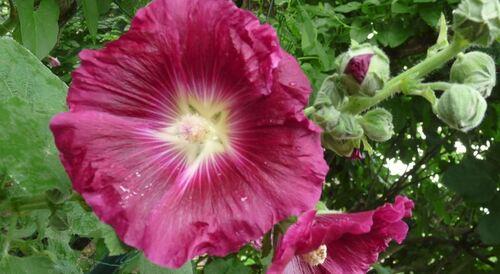 Fleurs de juillet sous la pluie