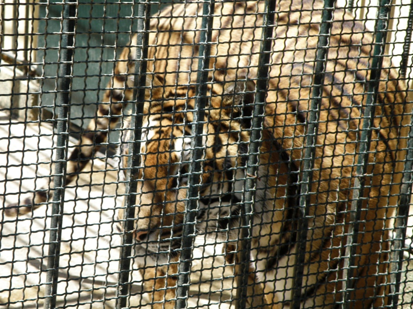 Le tigre malheureux