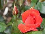 Photos de Roses 5
