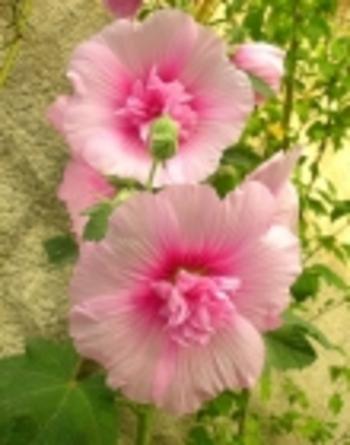 roses trémières 2
