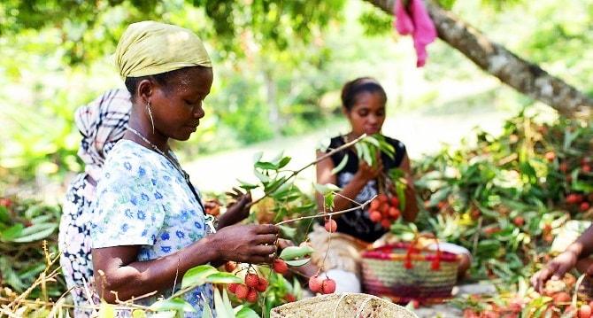 SANTÉ Saison du litchi à Madagascar : Découvrez 6 vertus de ce fruit !