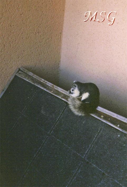 Ecureuil gris