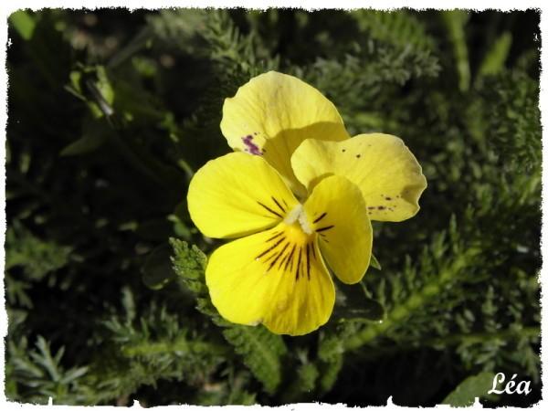 P4051607-pensee-jaune.jpg