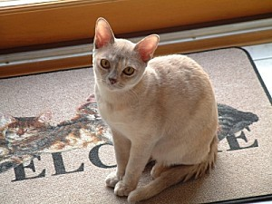 par-amour-burmese-etes-eleveur-chats-race 29209