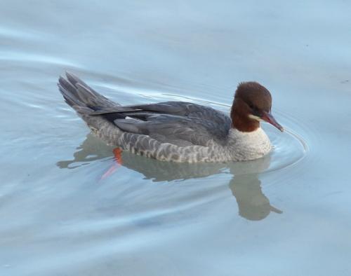Oiseaux au lac d'Annecy