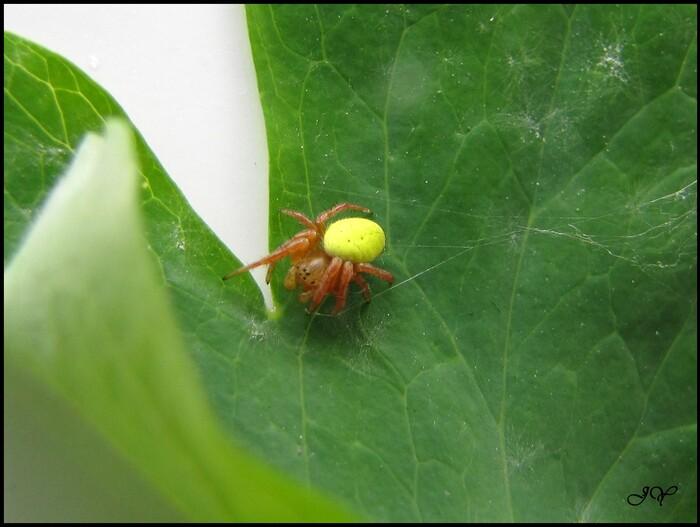 Araignée courge ou Concombre.