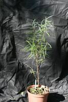Salix elaeagnos Angustufolia