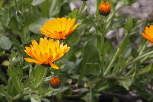 Fleurs de primtemps