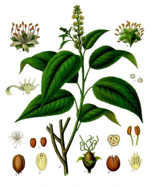 Croton cathartique Croton_tiglium - Köhler–s_Medizinal-Pflanzen-197
