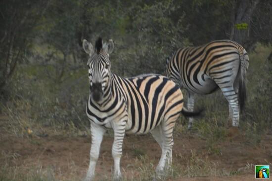 AFRIQUE du SUD : juin 2018 : 1 er safari
