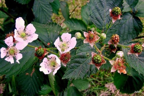 w03 - Fleurs et mûres vertes