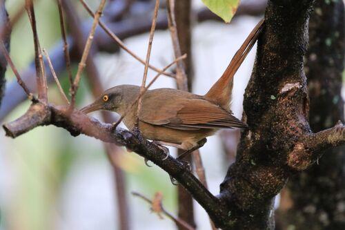 Trembleur Brun (Brown Trembler)