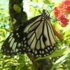 Papillon - Philippines