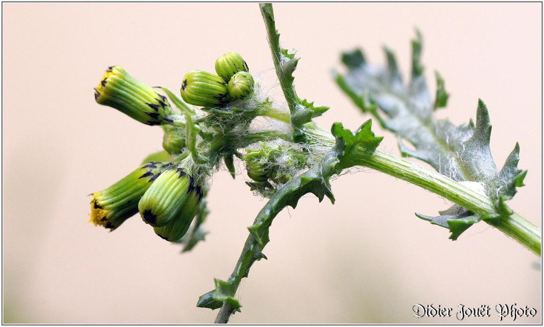 Séneçon Commun / Senecio vulgaris