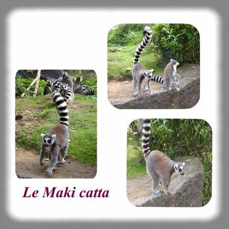 Maki_catta_1