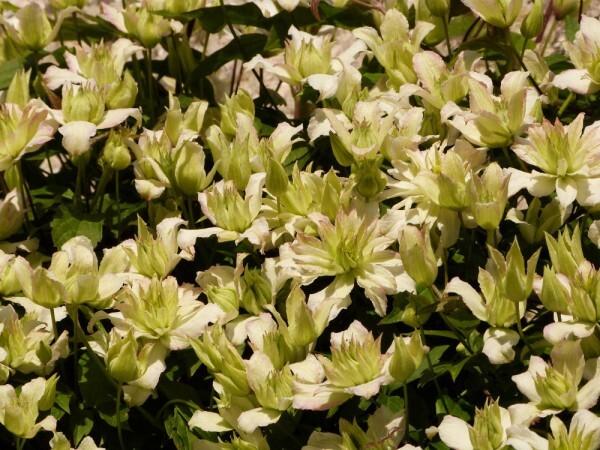 clematite-montana-Jenny-Keay---mai-2014---fleurs.jpg