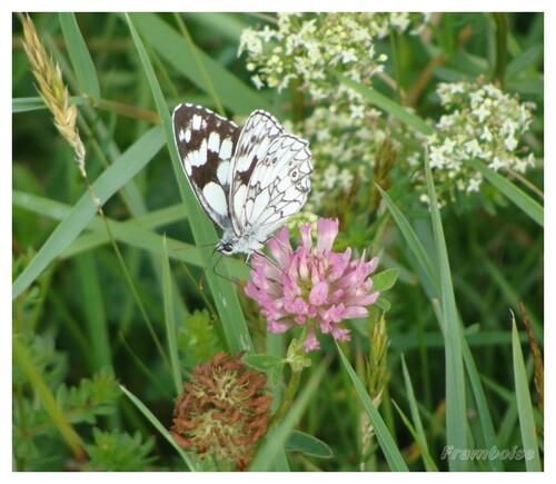 Papillon demi deuil ou échiquier