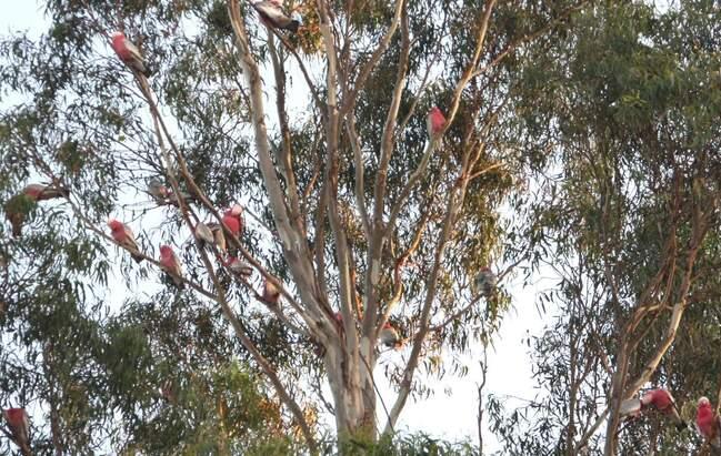 perroquets-rose-Mount-Isa-001-pg.jpg