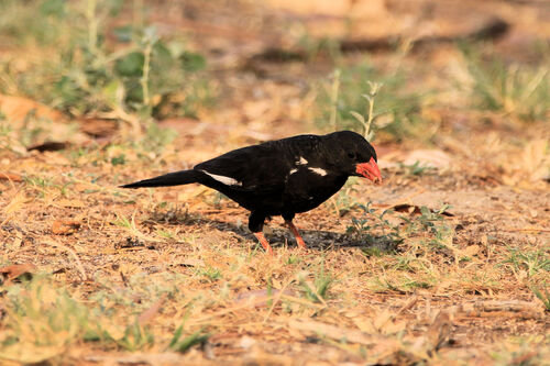 Alectro à bec rouge (Red-billed Buffalo Weaver)