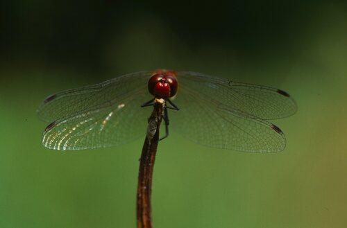 Le sympetrum rouge-sang (Sympetrum sanguineum)