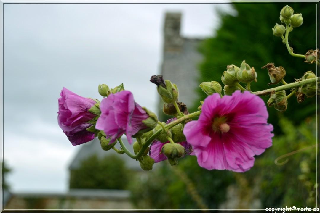 Roses trémières - Locronan - 12-10-2013