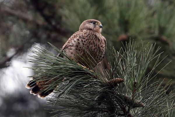 Faucon crécerelle - Jardin des Plantes