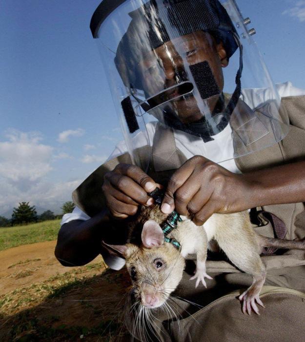Les marsupiaux gambiens sont au service.
