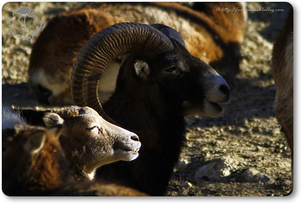Mouflons de Corse