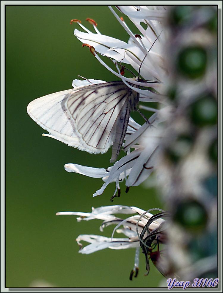 Papillon de nuit sur fleur d'asphodèle - Vallon d'Esquierry - Oô - 31