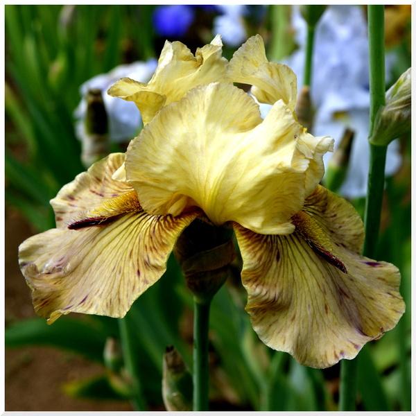 Paris. Iris au jardin des plantes