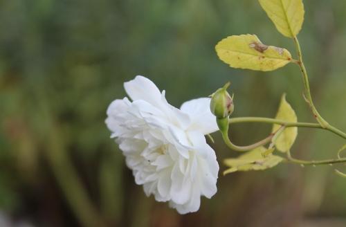 Regain de roses