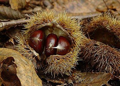castanea sativa-Châtaignier