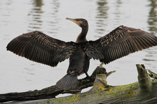 Grand Cormoran Gironde oct 13