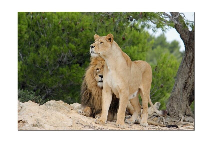 Lionnes (Réserve Africaine - Sigean- Aude - septembre 2012)