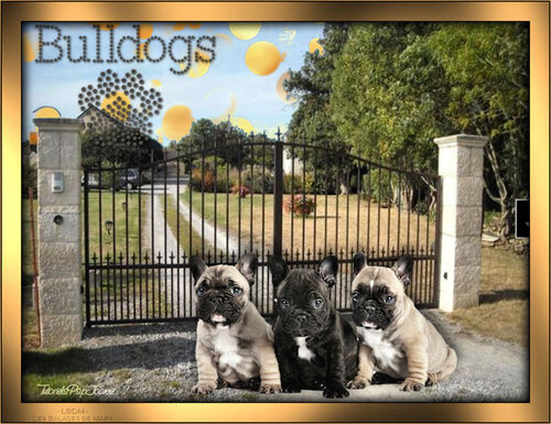 Tag Sweet Bulldogs
