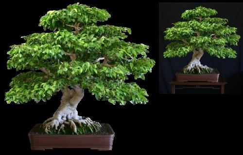 bonsaï