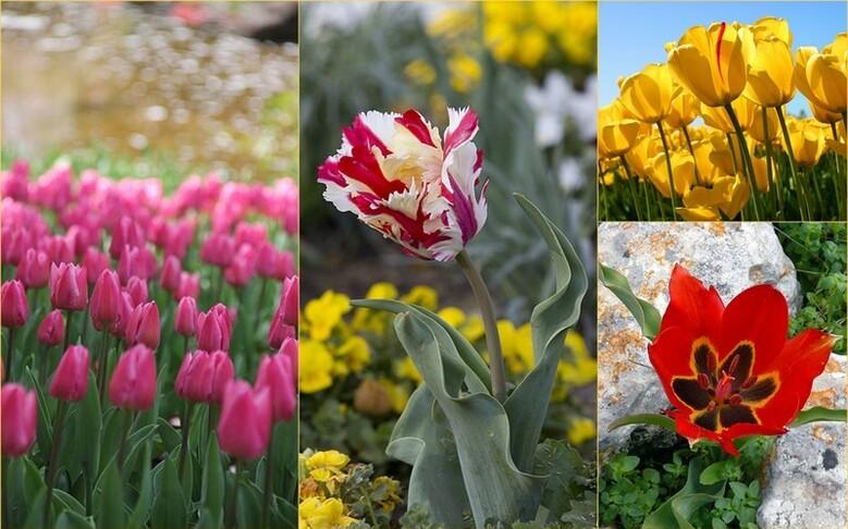 Fleur de printemps,la tulipe