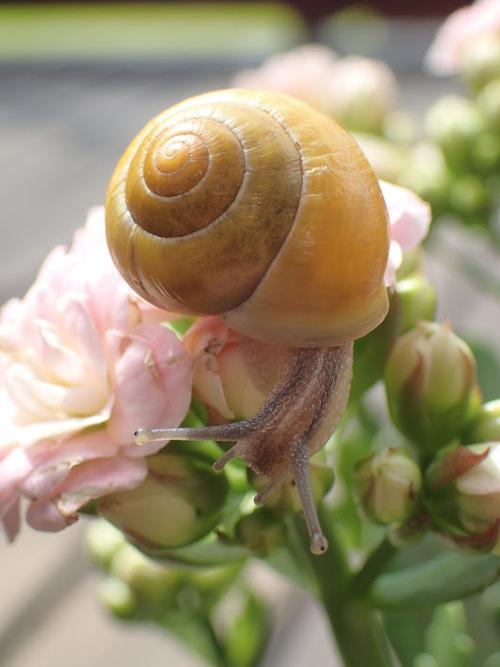Escargots grillés
