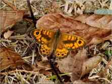 Le Satyre mâle Lasommiata megera Nymphalidae