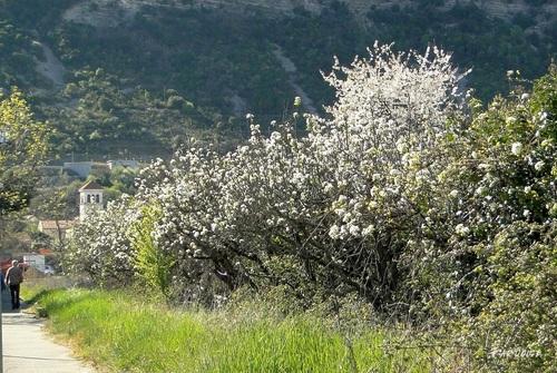 Arbres en fleurs devant Crussol