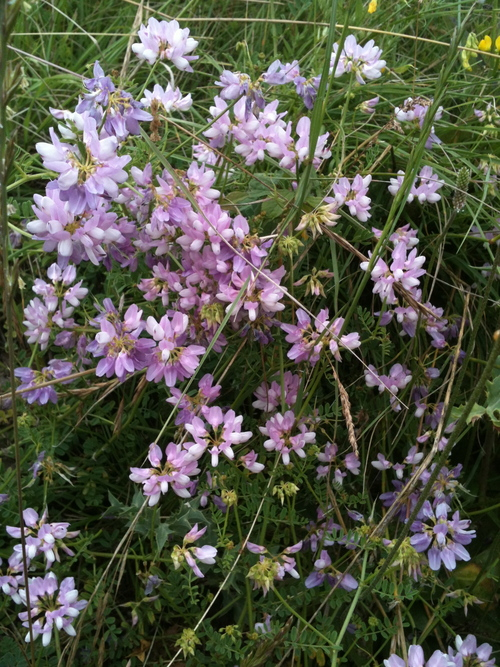 Fleurs du champsaur