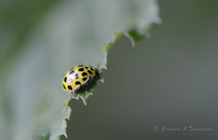 Coccinelle 22 points - Thea vigintiduopunctata