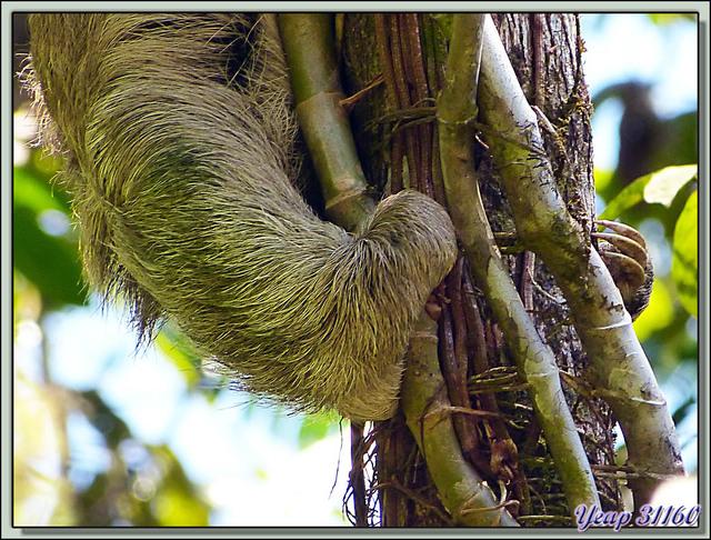 Blog de images-du-pays-des-ours : Images du Pays des Ours (et d'ailleurs ...), Aï, Paresseux à trois doigts ((Bradypus tridactylus) - Manuel Antonio - Quepos - Costa Rica