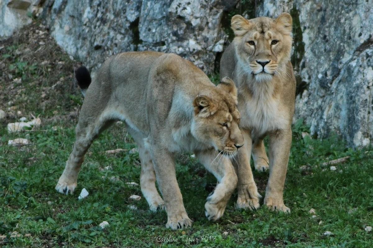 Tendres échanges entre lionnes d'Asie